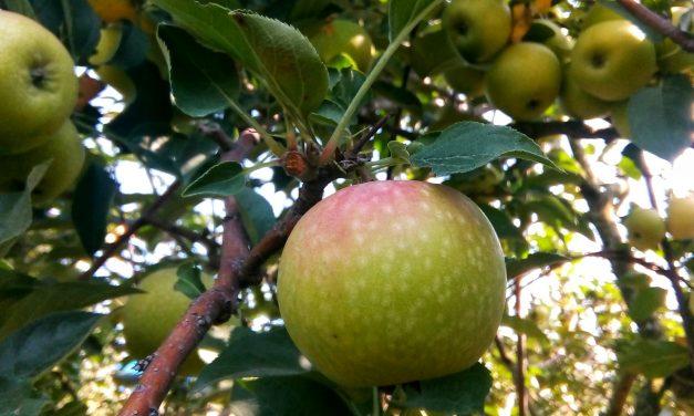 Wisata Petik Buah Apel di Kota Batu, Malang